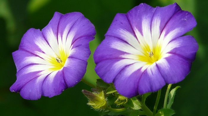 September Birth Flower Morning Glory