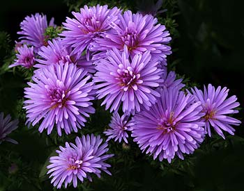 September Birth Flower is the Aster