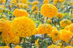 October Birth Flower Marigold Pictures