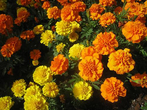 October Birth Flower Marigold
